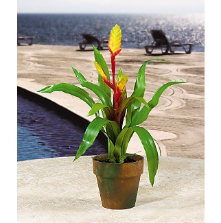 Potted Sword Bromeliad - Red & Gold