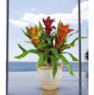 Triple Star Bromeliad Silk Arrangement - Assorted