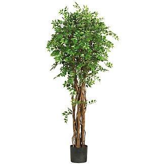 """68"""" Mini Japanese Ficus Silk Tree"""