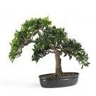 "16"" Japanese Ficus Bonsai"
