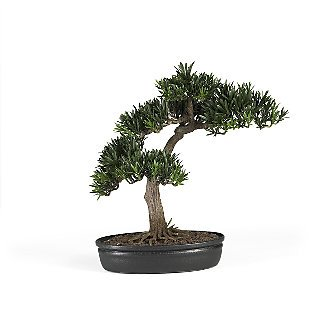 "16"" Podocarpus Bonsai Tree"
