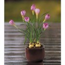 Fuchia Crocus Silk Arrangement w/Glazed Pot