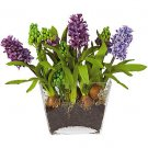 Hyacinth w/Glass Planter