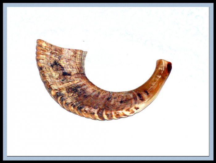 """New 17"""" Rams HORN SHOFAR Authentic Natural From Israel"""