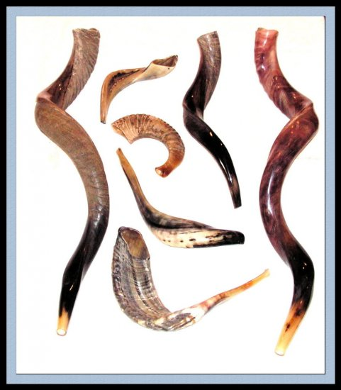 "New 14"" Rams Kudu Horn Shofar Authentic polished Israel"
