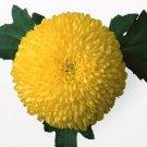 Chrysanthemi Indici Flos P.E.