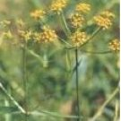 Bupleurum sinensis