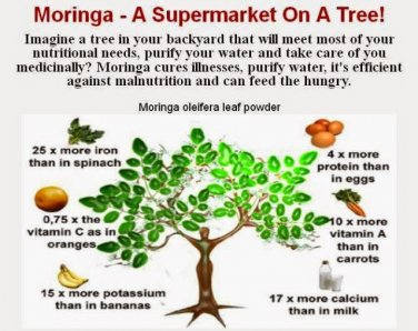 Moringa Tree's 4$ale ... cheaper price than ebay! ;)