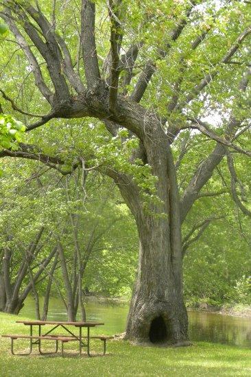 Picnic Tree II