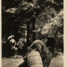 Washington Postcard, Black Bear Eating Garbage in Rainier Nat'l Park, Real Photo c.1947