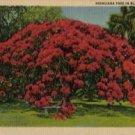 Hawaii Postcard, Huge Poinciana Tree in Bloom, Full Color c.1934