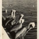 Key West Florida Postcard, Pelicans on Dock, Black & White Real Photo c.1954