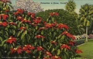 Cypress Gardens Florida Postcard, Poinsettias in Bloom, Full Color c.1951