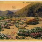 California Postcard, Springtime Flowers in The Desert, Full Color c.1931