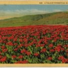 California Postcard, Field Full of Poinsettias, Full Color c.1931
