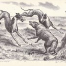 Vintage 1939 John Curry Print Book Plate Hounds, Coyote