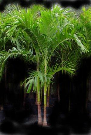 Andonidia Palm 5'