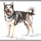Alaskan Malamute dog canvas art print