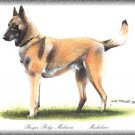 Berger Belge Malinois dog canvas art print