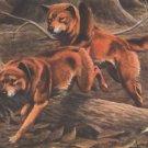 Australian Dingos Dingo dog canvas art print by Louis Agassiz Fuertes