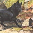 Belgian Shipperke dog canvas art print by Louis Agassiz Fuertes