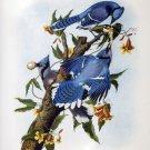 Blue Jay birds bird canvas art print by John James Audubon