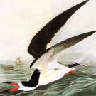 Black Skimmer 1821 bird canvas art print by John James Audubon