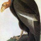 California Condor bird canvas art print by John James Audubon