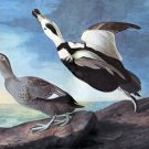 Labrador Duck 1833 bird canvas art print by John James Audubon
