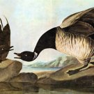 Brant bird canvas art print by John James Audubon