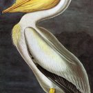 White Pelican 1832 bird canvas art print by John James Audubon
