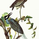 Yellow Crowned and Little Blue Heron birds canvas art print by Audubon