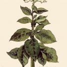 Tobacco Plant Botanical Painting 1800 Botany Fine Art Canvas Print