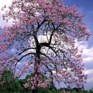 Royal Empress Tree Seeds Paulownia Tomentosa 50+ seeds