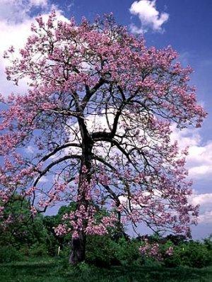 Royal Empress Tree Seeds Paulownia Tomentosa 50+ seeds