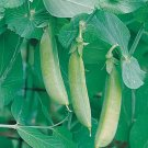Organic Heirloom Sugar Snap Pea 40+ Seeds