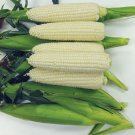 Organic Sugar Pearl White Sweet Corn 40+ Seeds
