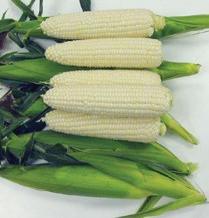 Organic Sugar Pearl White Sweet Corn 40+ Seeds
