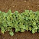Organic Heirloom Arugula Salad Green 300 Seeds Free Ship