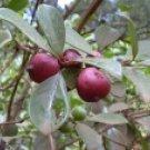 Strawberry Guava 10 Seeds - Psidium cattleianum -Bonsai
