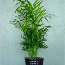 PARLOR PALM 20 SEED Chamaedoria  Elegans