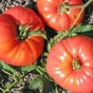 Heirloom Omar's Lebanese Tomato 30 Seeds!
