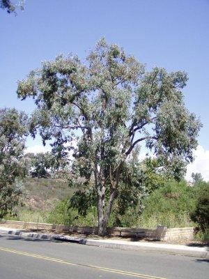 Eucalyptus polyanthemos-Silver Dollar Tree $3.99 20+ seeds