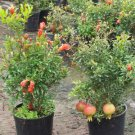 Punica granatum nana or Dwarf Pomegranate tree 10 seeds