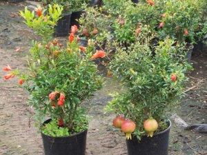 Punica granatum nana or Dwarf Pomegranate tree 10 seeds