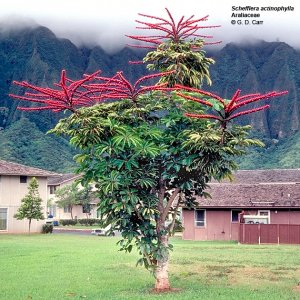 Schefflera actinophylla-Umbrella Tree 10 seeds