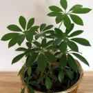 Schefflera arboricola–Pittman's Pride 10 Seeds