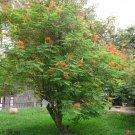Caesalpinia pulcherrima-Desert Bird of Paradise 10 Seeds