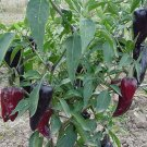 Purple Jalapeno Hot Pepper 20 seeds $3.99