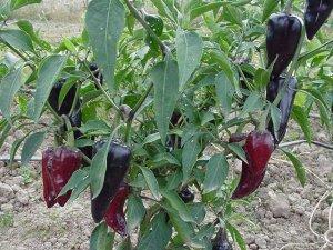 Purple Jalapeno Hot Pepper 20 seeds $3.99